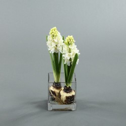 Cube M Clear - Jacinthe blanc