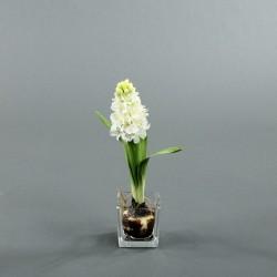 Cube S Clear - Jacinthe blanc