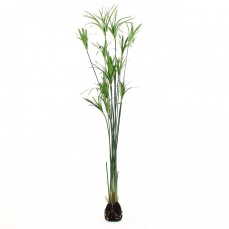 Plant de Papyrus 152cm - Vert