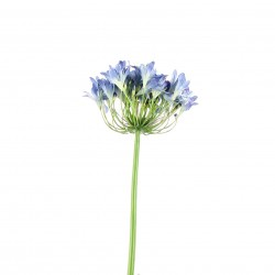 Agapanthe 90cm - Bleu