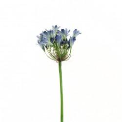 Agapanthe 60cm - Bleu
