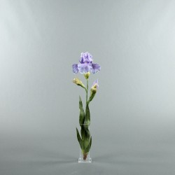 Para S - Iris bleu lavande