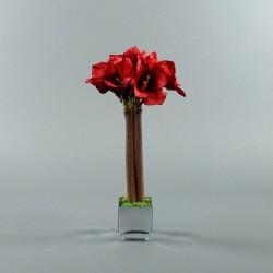 Cube M silver - Amaryllis rouge
