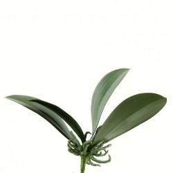 Feuillage d'Orchidée Phalaenopsis 25cm - Vert