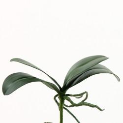 Feuillage d'Orchidée Phalaenopsis 18cm - Vert